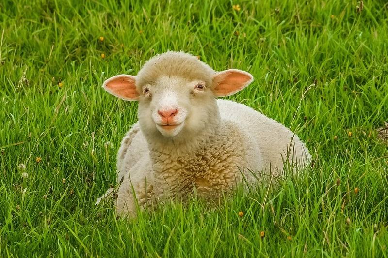 ovci-v-parise-1.jpg