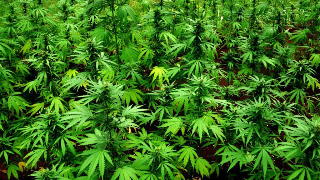 cannabis-1024x576.jpg