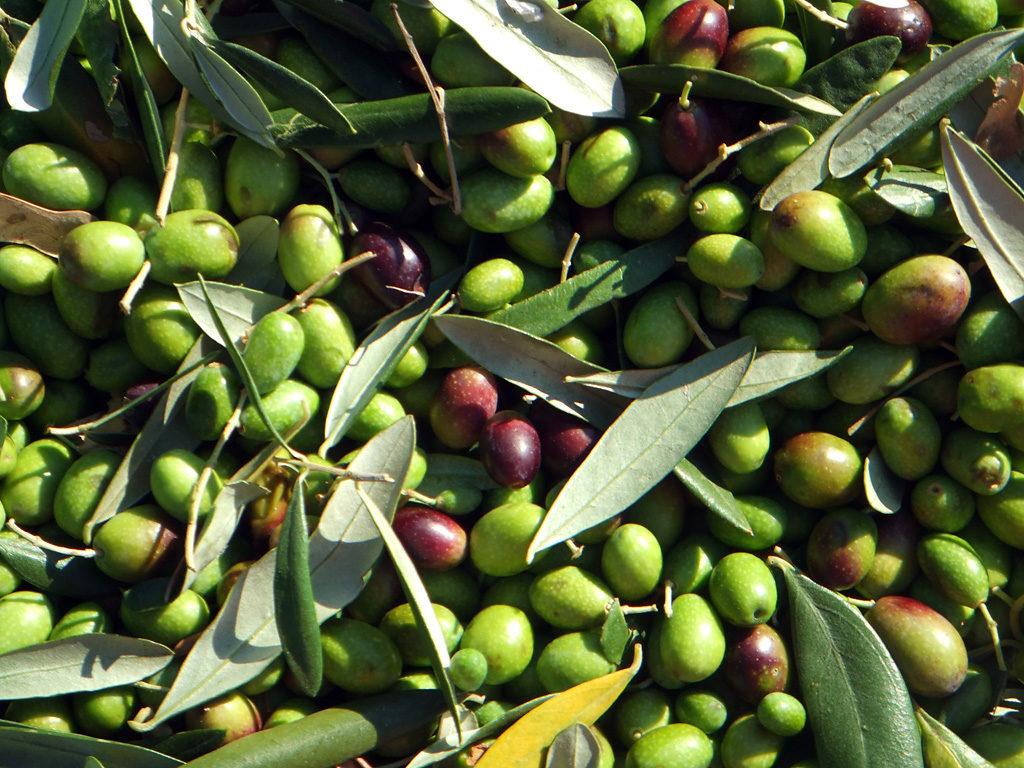 olive-tree-3-1024x768.jpg
