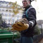 В Париже на борьбу с крысами потратят 1,5 млн евро