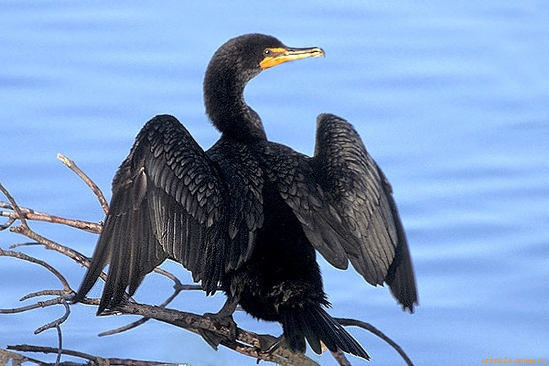 800px-Double-crested_Cormorantat_Ding_Darling_NWR.jpg