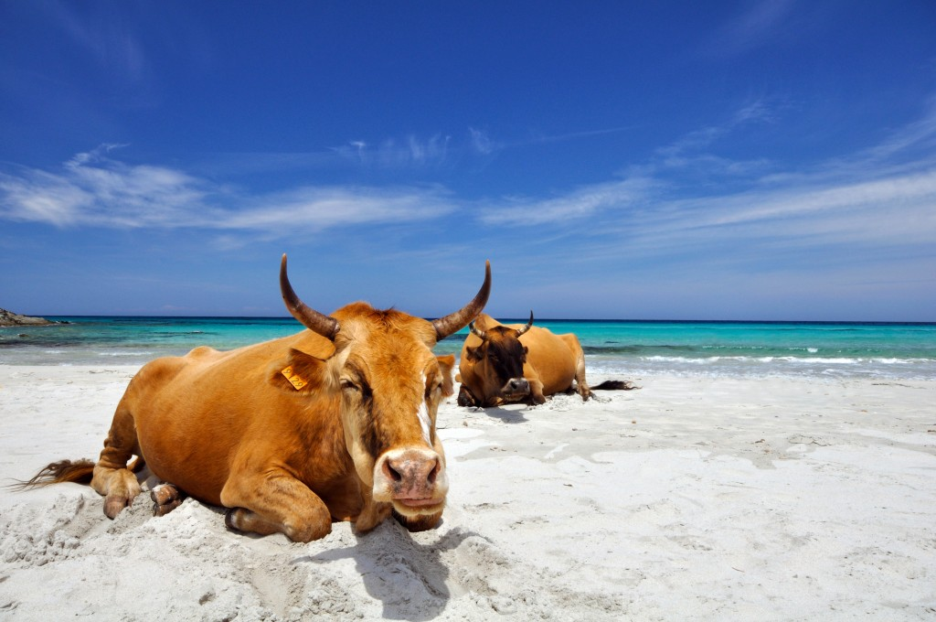 селфи с коровой