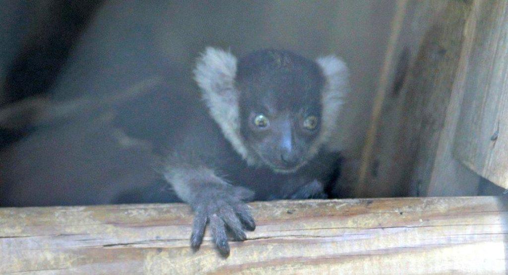 lemuriens-naissance-p-21277484-1024x555.jpg