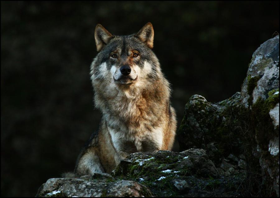 Мэр коммуны Артиг обвинил волков в лесных пожарах
