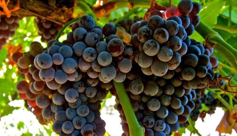 Рекордно сократилось производство вина во Франции