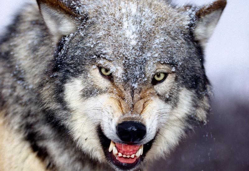 Французские фермеры предлагают отстреливать волков
