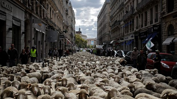 ВоФранции тысяча овец вышла намитинг против волков