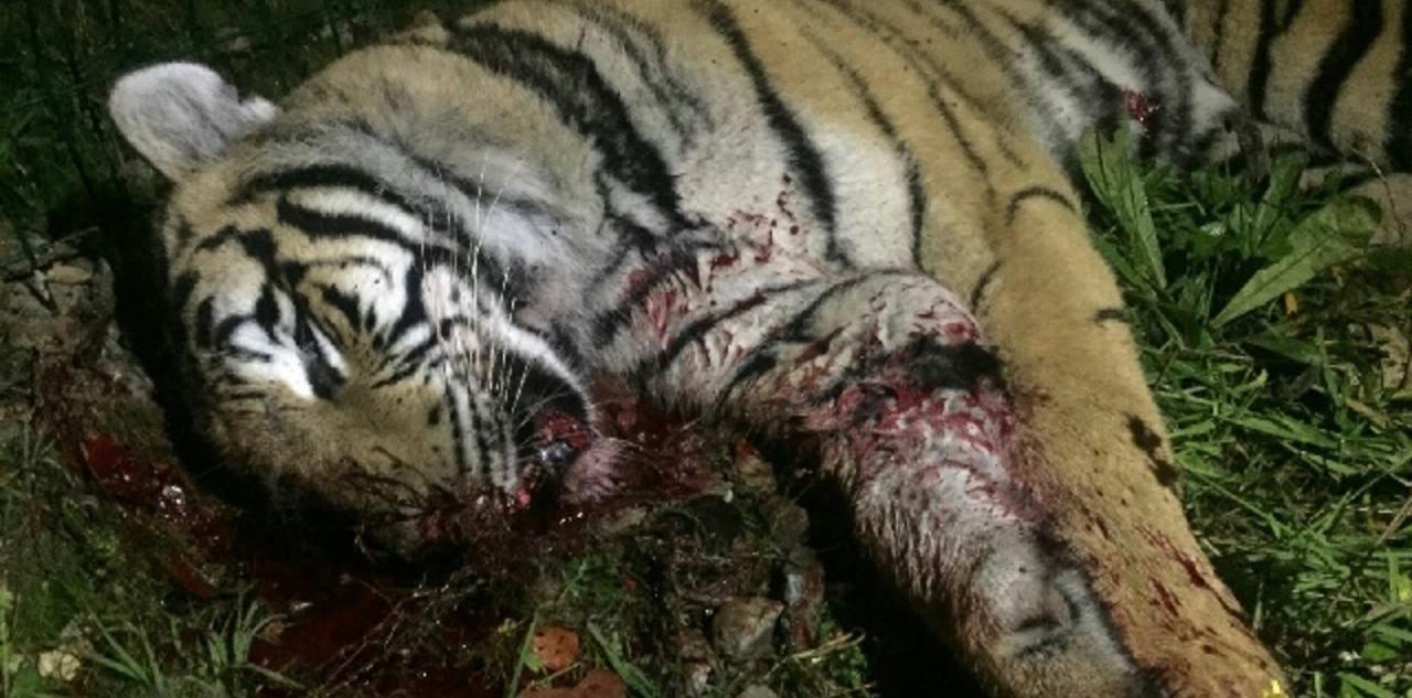 В Париже директор цирка застрелил тигра