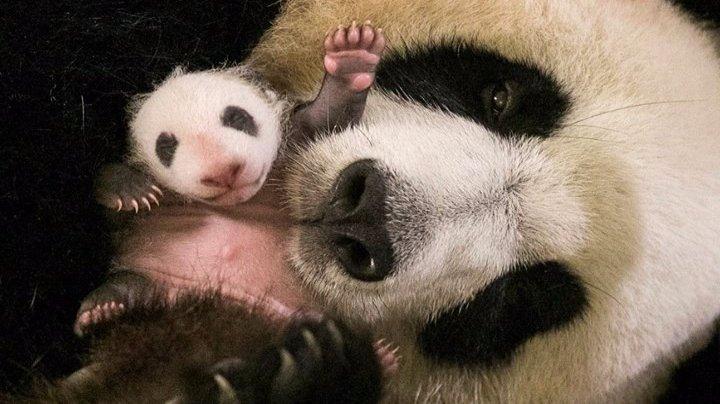 Зоопарк Beauval впервые покажет посетителям детёныша панды