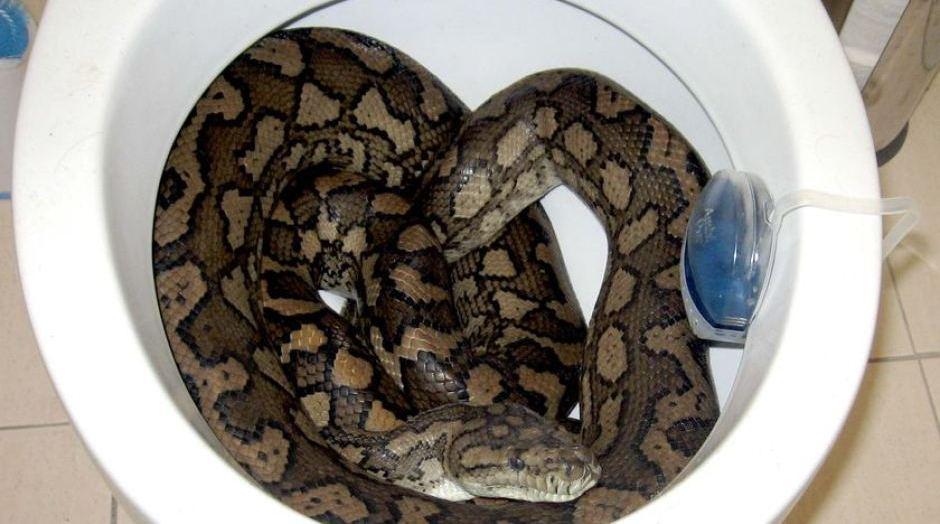 Житель Гренобля обнаружил в туалете огромного питона