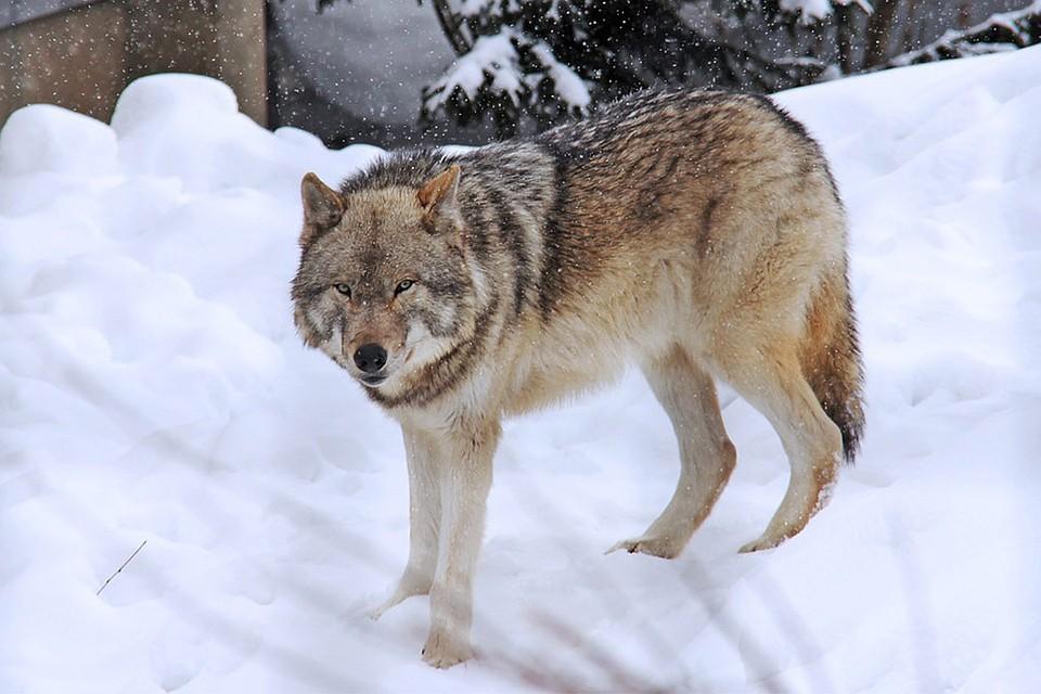 ВоФранции решили увеличить популяцию волков, невзирая напротесты фермеров