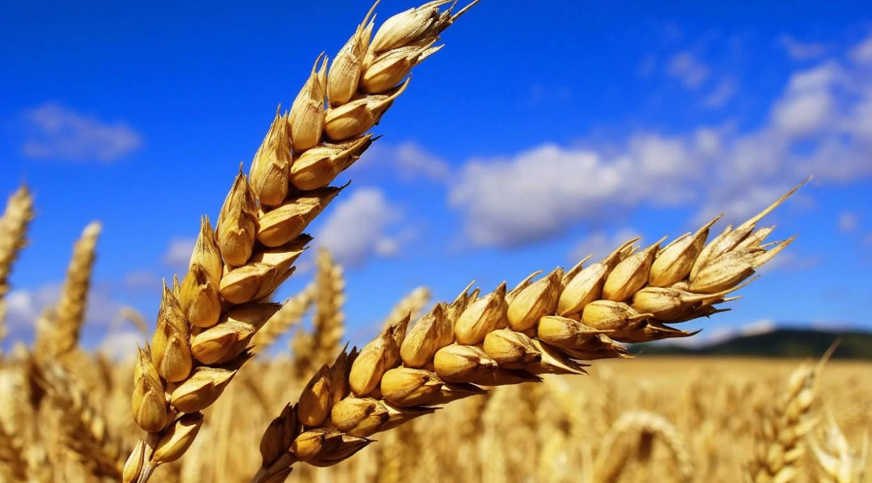 Россия потеснила Францию на рынке пшеницы