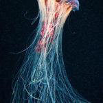 медузы Лазурный берег