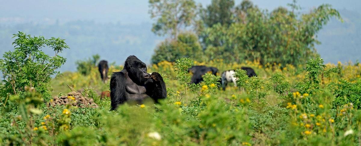 gorilla-trekking-3-1.jpg